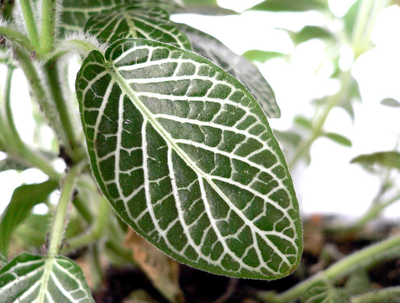 Комнатные цветы с белыми прожилками на листьях фото